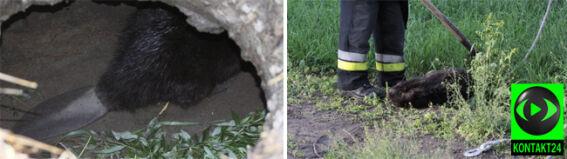 Opole: dwa bobry uwięzione w kanale burzowym