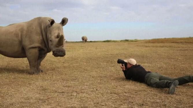 Ludzkie paznokcie zamiast rogów nosorożca. Nowy pomysł na walkę z kłusownictwem
