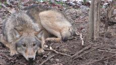 Kolejny wilk uratowany przed okrutną śmiercią