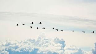 Ptaki przestraszyły się mrozów i zawróciły na południe